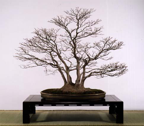 yamamomiji mini bonsai gallery bonsai virtual culture kids web japan web japan. Black Bedroom Furniture Sets. Home Design Ideas